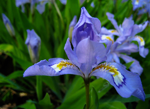 iris in lavender