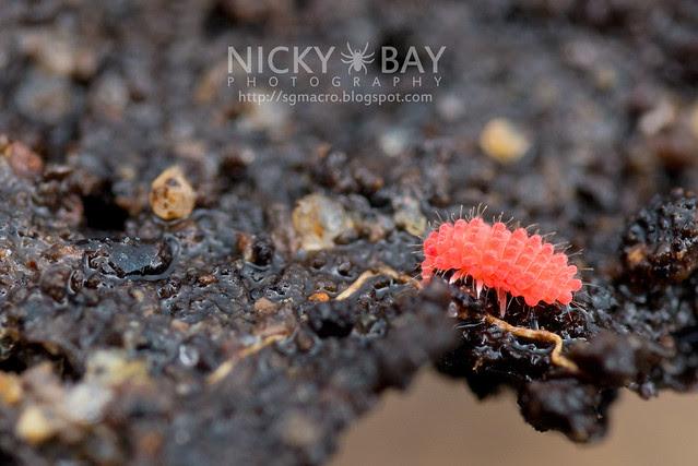 Springtail (Neanurinae) - ESC_0017