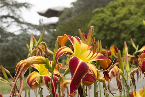 Daylilies by bahayla