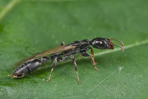 Tetraponera sp. queen ant...IMG_5065 copy