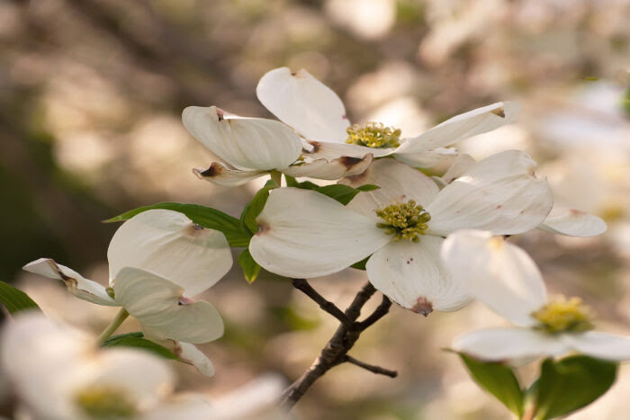 Dogwood Flower Meaning Flower Meaning