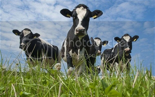 photo Cows_2532445b_zps9psnobpx.jpg