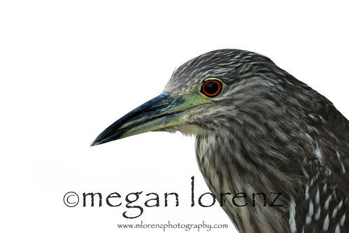 Night Heron by Megan Lorenz