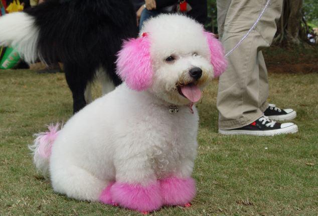Pretty in pink: Um cão de estimação vestido-up é visto durante um show animal de estimação em Haikou, na Província de Hainan na China