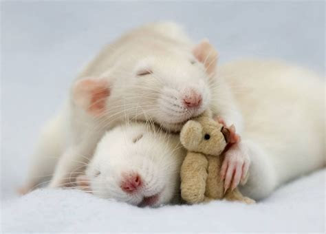 18  Adorable Rat Pics Proving That They Can Be The Cutest Pets Ever   Bored Panda