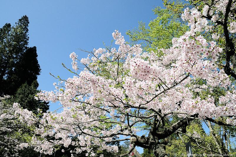 阿里山櫻花季99