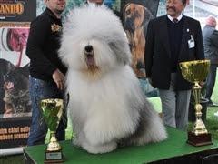 cacib 2013 Internațional Dog Show 2013. 1.700 de câini din 19 ţări se întrec la Satu Mare