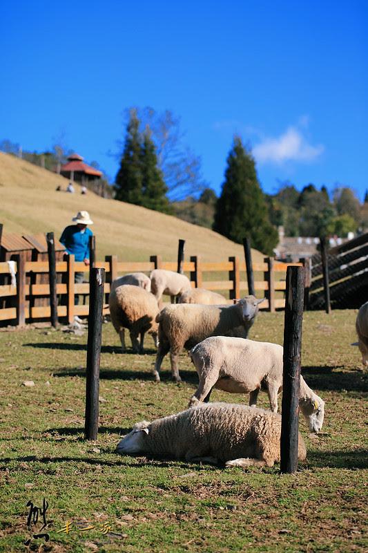 清境農場青青草原|紐西蘭綿羊秀