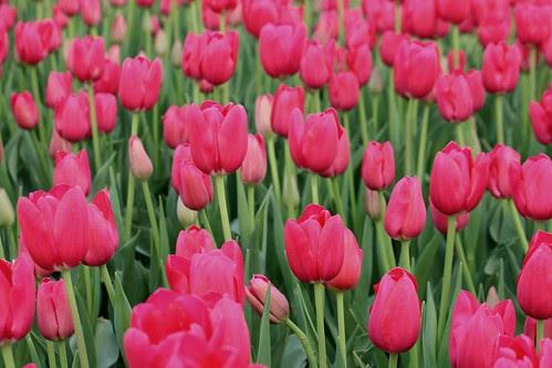 tulpen fuchsia