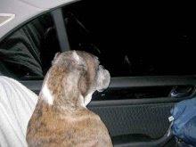 perro mirando por la ventanilla