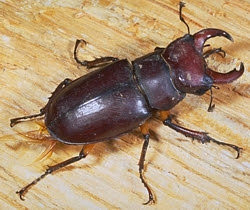 Common Stag Beetle, male