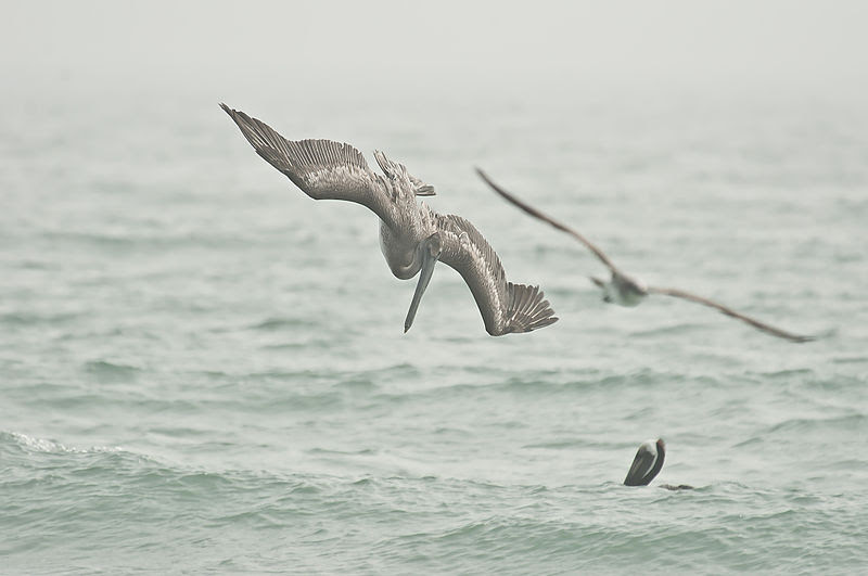 File:Diving pelican.JPG