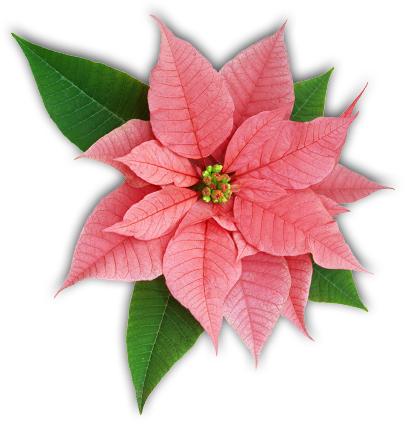 Poinsettia Facts The Poinsettia Pages University Of Illinois