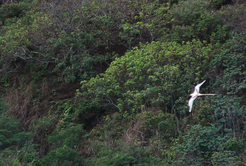 white tailed tropicbird.jpg