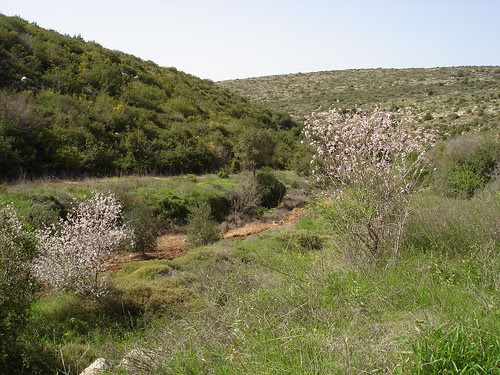 Almond trees with hills