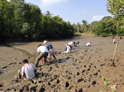 Mega Marine Survey: Volunteers in soft mud at Pulau Ubin
