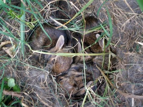 Did You Find a Nest of Baby Bunnies?   Effective Wildlife Solutions