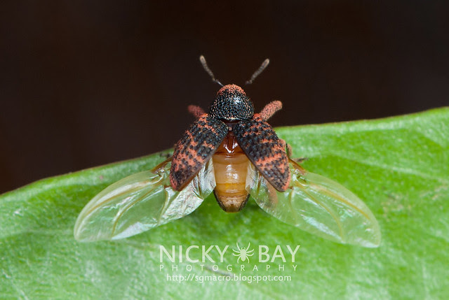 Weevil (Curculionidae) - DSC_2881