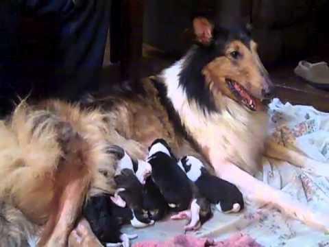 Newborn Rough Collie Puppies