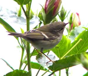 Yellow-browed Warbler or Inornate Warbler (Phy...