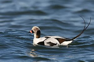 Long-Tailed Duck / Clangula hyemalis