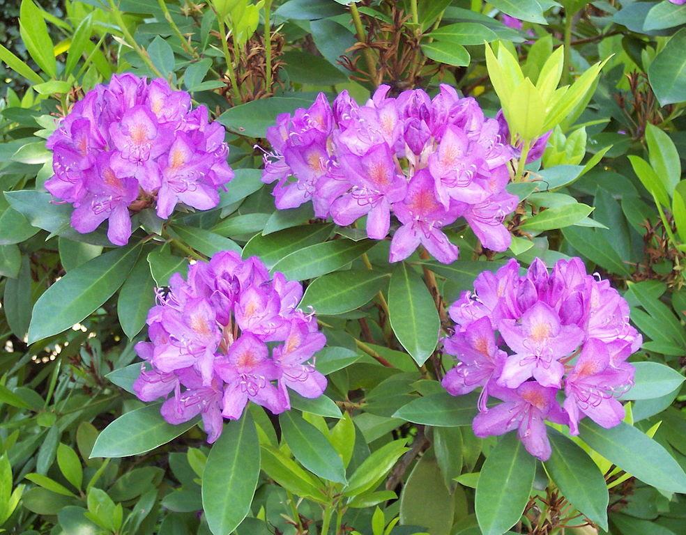 Rhododendron ponticum en el Real Jardín Botánico de Madrid. Fotografía: A. Barra