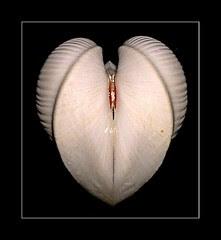 Moltkes Heart Clam - Meiocardia moltkiana