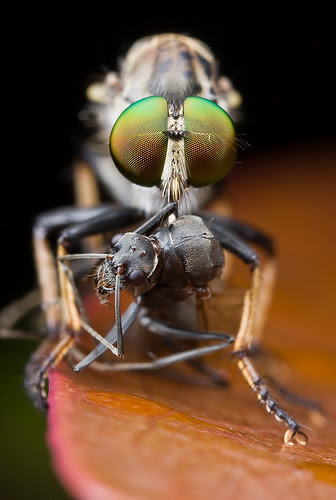 Robber fly with winged ant prey