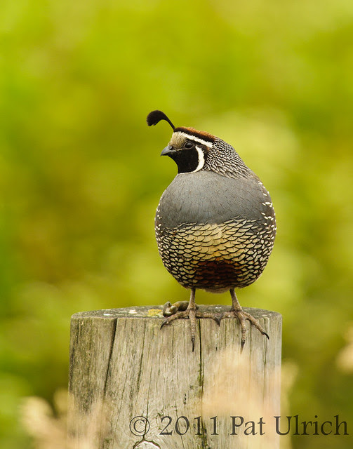 California quail in Point Reyes National Seashore - Pat Ulrich Wildlife Photography