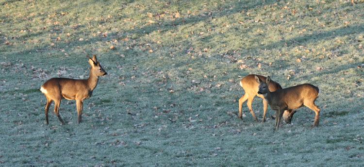 Roe Deer at Sunrise