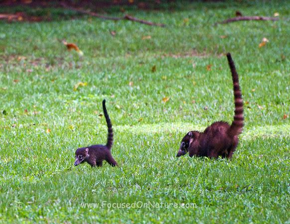 Whitenosed Coati Family