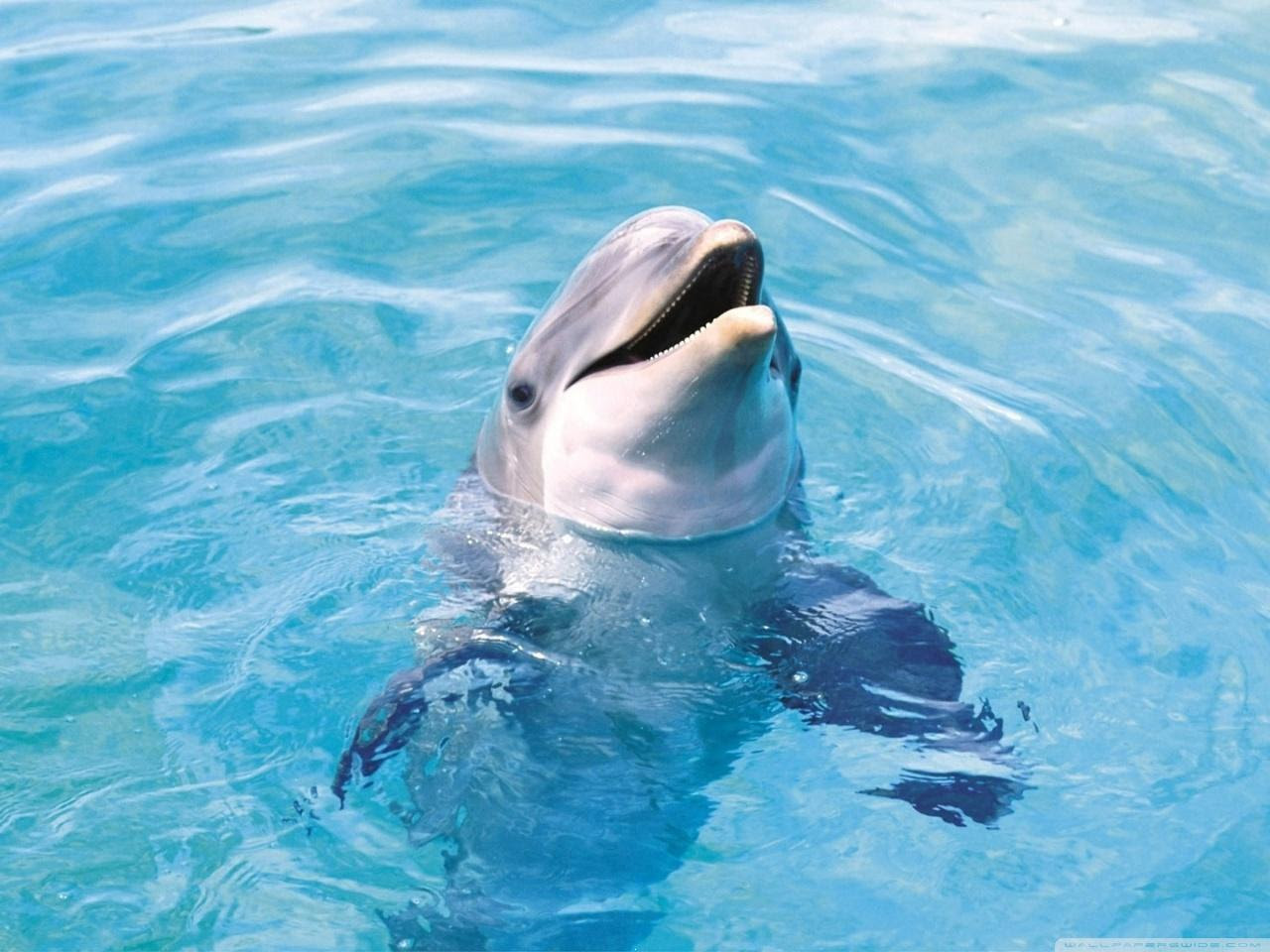 Download Dolphin Hd Wallpaper Underwater World For Your Mobile