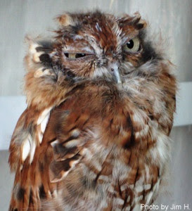 Molting Owl Looks Scraggly
