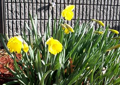 Daffodils_office_4611