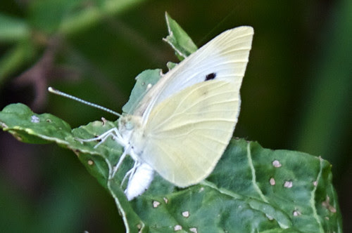 Cabbage White Butterfly (Pieris rapae) - 2