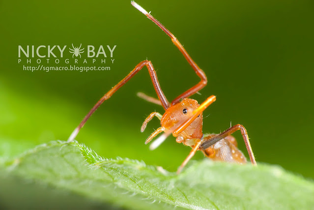 Ant-mimic Crab Spider (Amyciaea lineatipes) - DSC_6803