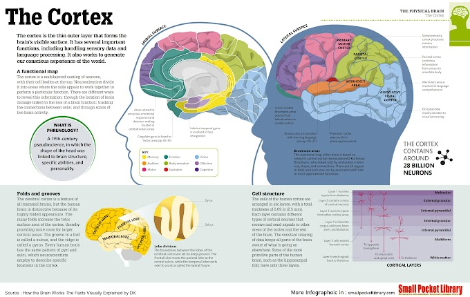 Infographic :The Cortex