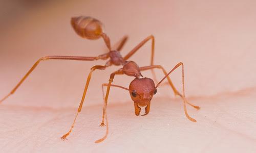 Weaver ant biting me....IMG_3327 copy