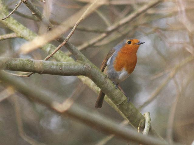 DSC_3685 Robin