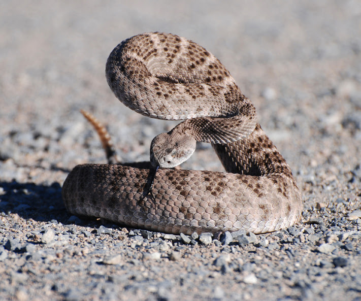 Resultado de imagem para Western diamondback rattlesnake