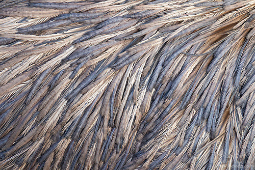 Emu Feathers Detail (Captive)