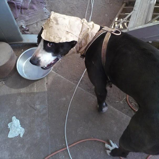 cachorro-envergonhado-14