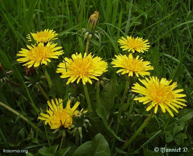 Fleure de Pissenlit