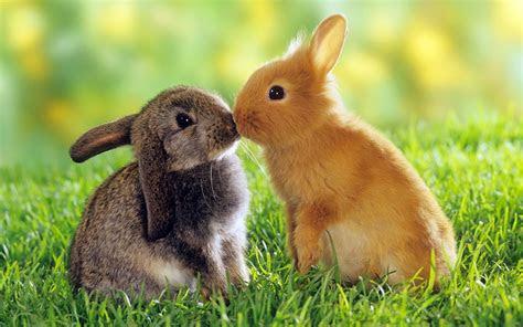 ciri ciri kelinci  bahasa inggris  artinya