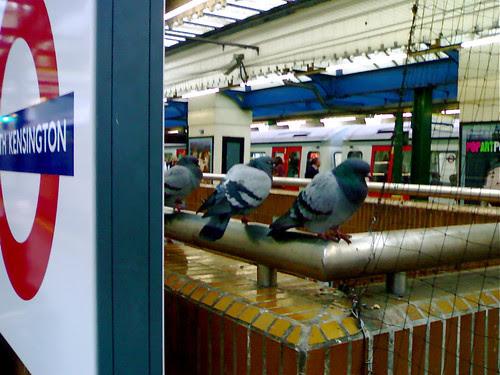 South Kensington Tube pigeons by Jan Brasna