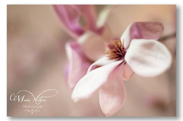 Wed. Apr 4,2012, Magnolia - one of the most beautiful yet short-lived flowers.