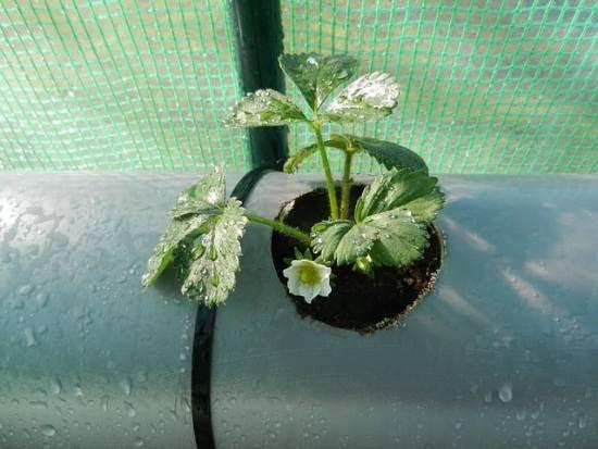 How to Build a Strawberry Planter