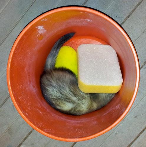 bucket ferret