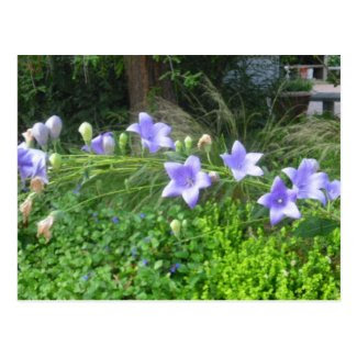 Morning Glory Flowers Postcard