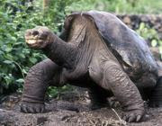 «Lonesome George»